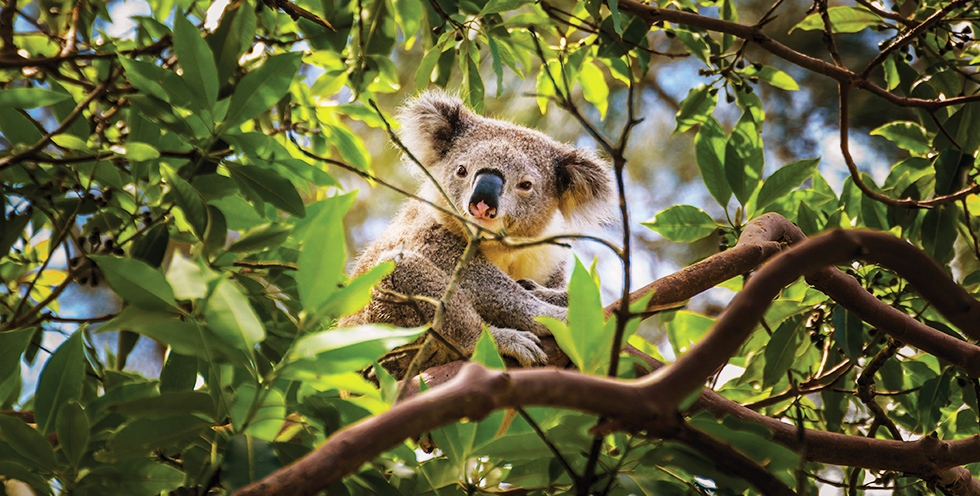 Eucalyptus species, such as the Ribbon Gum, are an important food source for koalas.