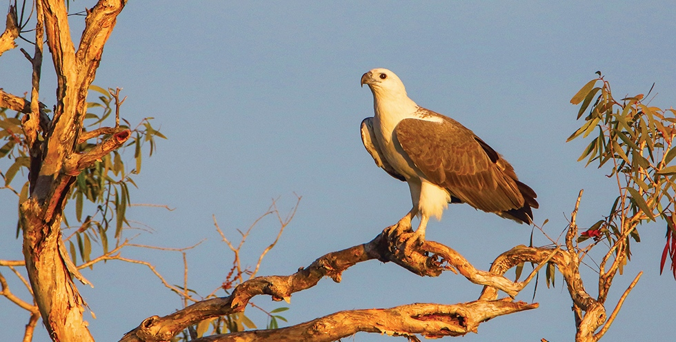 SA - The White-Bellied Sea-Eagle is one species that will benefit from restored habitat at the Eyre Peninsula site.